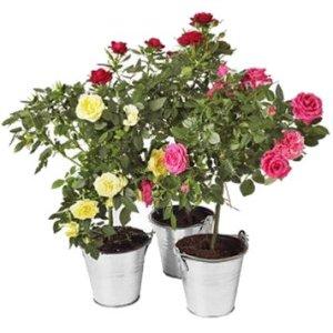 Культивирования розы в комнате