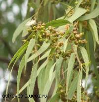 Гроза стрептококков(эвкалипт)