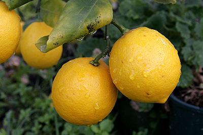 Уход за лимоном (свет)