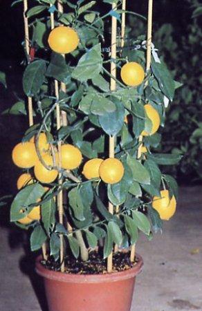 Размножения лимона