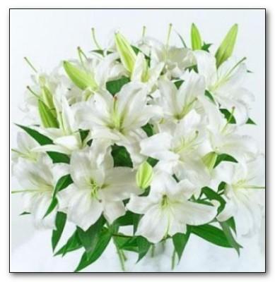 фото лилии белой