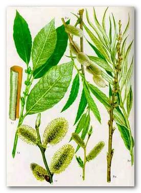 Лекарственное растение ива козья