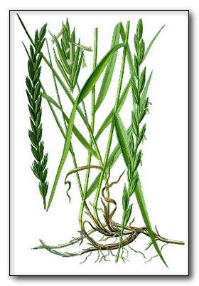 Трава пырей, лечебные свойства