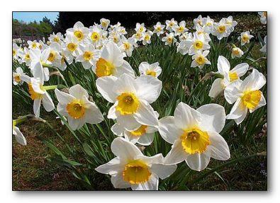 Цветы нарциссы