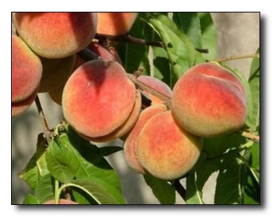Свойства персиков