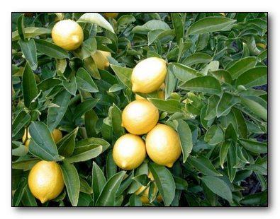 Лекарство-лимон