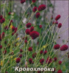 Травы, которые остановливают кровь
