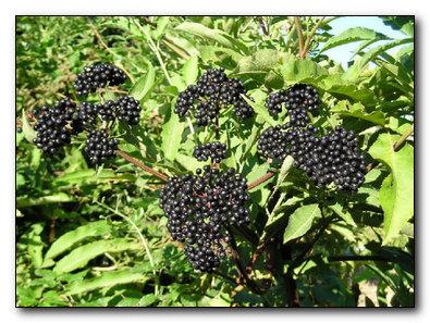 Лечебные растения в саду