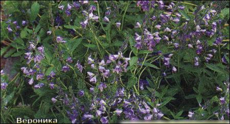 Лекарства из цветника