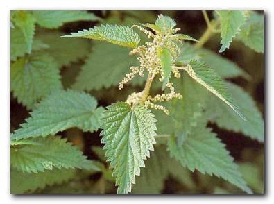 лечебная трава крапива
