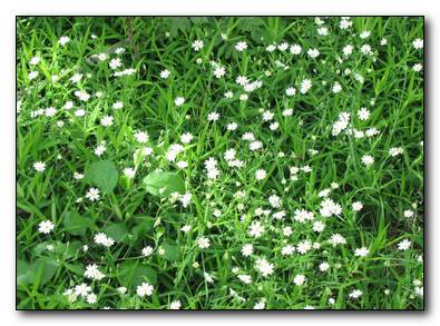 Трава мокрица