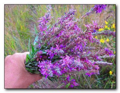 плакун трава лечебные свойства
