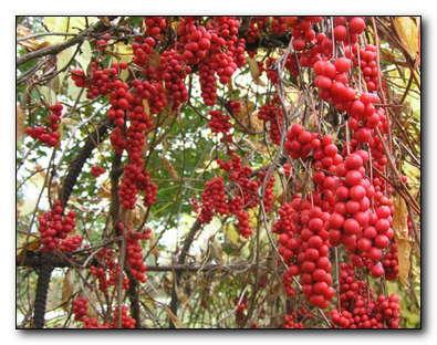 Ягоды лимонника китайского-как тонизирующее средство